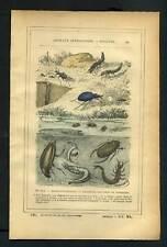 COLEOPTERES DYTIQUE, GYRIN NAGEUR Gravure de 1887