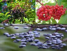 Sambucus Collectors Pack Mix ~ Nigra Caerulea Racemosa ~ Rare Seeds