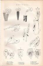 Impresión De 1880 ~ ~ Rotífero animales acuáticos Historia natural ~ cathypua Luna Etc