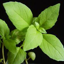 Basilico-cannella - 150 semi [.. con la vivace aroma e gusto di cannella ]