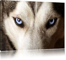 Husky mit eisblauen Augen Leinwandbild Wanddeko Kunstdruck
