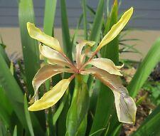 Iris foetidissima Var citrina Bulbs