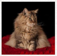 Gato, Maine Coon Gato, Tela Acolchar | Panel de Artesanía Coser |