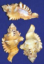 "Cymatium Perryi Triton Shells ~ 4"" ~ Craft Seashells Select ~ 1/2/3Pcs."