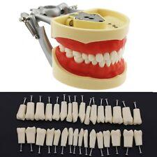 Dental Typodont Model Practice Simulation 32 Replace Teeth Kilgore Nissin 200