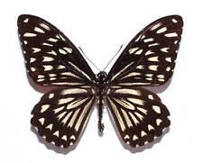 CHILASA CLYTIA ECHIDNA - unmounted butterfly