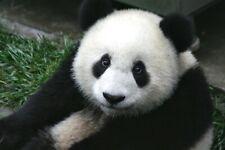Panda Bear China Nature HD POSTER