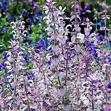 Pure Sauge sclarée huiles essentielles Salvia Sclarea Sauvage naturel artisanal ...