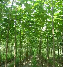 Paulownia seeds. The fastest growing hardwood tree