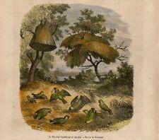 Stampa antica uccelli TISSERIN con nidi in costruzione 1873 Old print birds