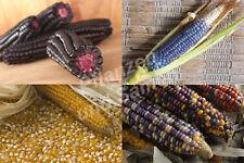 🔥 Zucker-Mais Samen historische Sorten Zuckermais alte Sorten bunt Mais