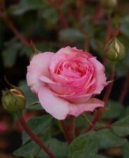 Strauchrose Bremer Stadtmusikanten® - Rosa Bremer Stadmusikanten® - creme-rosa -