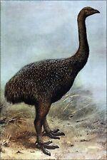 Poster, Many Sizes; Upland Moa Megalapteryx Didinus Extinct Birds By Rothschild