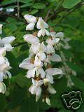 Robinia pseudoacacia Black Locust Tree Seeds!