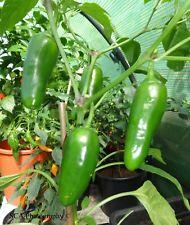 "Chilli Pepper Seeds - Jalapeno  ""La Bomba"" (F1)"