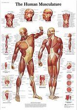 Human Skeleton Anatomy Medical Poster A0-A1-A2-A3-A4-A5-A6-MAXI 333