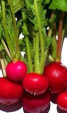 Radish Seeds, Crimson Giant, Heirloom Radishes, Non-Gmo, Quick Producer, 100ct