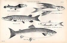 Impresión De 1880 ~ Physostomi ~ cuatro Ojo Salmón Lucio pez volador argentino