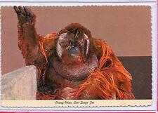 "ANIMAL COLOR SERIES,""AHKUP"" ORANG-UTAN,MONKEY (BORNEO),ZOO SAN DIEGO,CA"