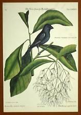 Gravure Ornithologie Oiseau LE ROSELIN NOIR