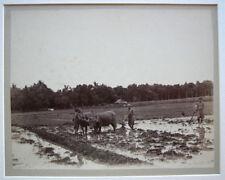 PHOTO 1890 CAMBODGE  VIETNAM - BOEUF RIZIERE - PHOTO ANCIENNE - X8