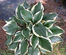 Hosta for. 'Patriot' - Marginal Pond Plants  - Pond Plants - Water Plants