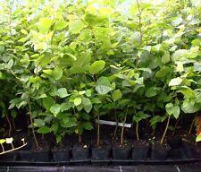 1 x Hainbuche Heckenpflanze im Topf / Container