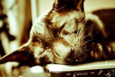SLEEPING ORIENTAL CAT GLOSSY POSTER PICTURE PHOTO black cute kitten pretty 1618