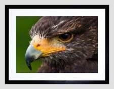 Harris Hawk Eye cerrar Pájaro rezar Marco Negro Imagen de Impresión Arte Enmarcado B12X8086