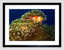 ANEMONE di Mare Pesce Pagliaccio CORNICE NERA incorniciato Art Print Picture Mount b12x9352