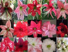 Stunning Hippeastrum Amarrylis mix species multi colour & flower shapes, Seeds