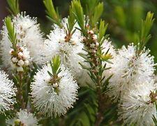 Tea Tree/Melaleuca alternifolia Oil Pure&Natural up to 8 oz.5-10% off