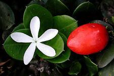 Natal Plum, Carissa macrocarpa, (Carissa grandiflora), Shrub Seeds (Fast Edible)