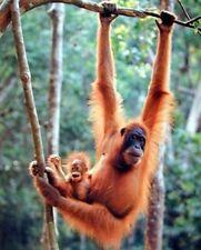 Orangutan and Baby Waving Monkey Wall Decor Art Print Poster (16x20)