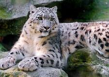 62633 Snow Leopard Wall Print Poster CA