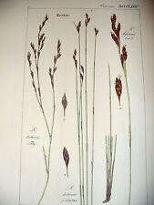 DIETRICH D. Nathaniel Friedrich Flora Universalis 1831-1861 RESTIO  Botanica