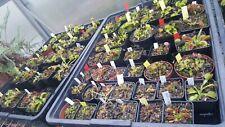 Dionaea muscipula, lots of cultivar/variety