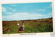 Postcard Massachusetts Cape Cod Cranberry Bogs NrMint c1950s-60s