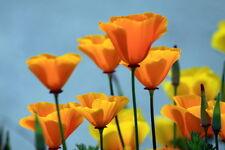 Californian Poppy 300 or 600 seeds Annuals & Biennials