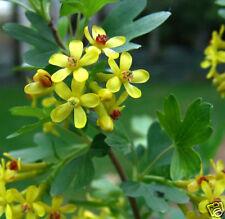 RARE 6 graines de Groseillier Doré(Ribes Aureum)G733 GOLDEN CURRANT SEEDS SAMEN