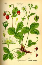 200 Samen echte Walderdbeere (Fragaria vesca) seeds Heilpflanze