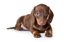Perro Salchicha Cachorro Perro Adhesivo Para Uso Interior O Exterior Pared Van Car
