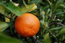 Tangerine Orange Citrus Tangerina Fruit Seeds Balcony Indoor Outdoor GardenPatio