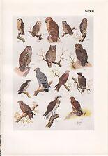 1940 SOUTH AFRICAN BIRD PRINT ~ CUCKOO FALCON BLACK KITE GRASS BARN FISHING OWL