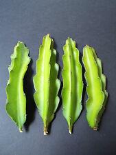 Hylocereus undatus grafting stock pereskiopsis cactus grafted cacti 5 cuttings