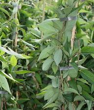 Kalmien Deutzie Deutzia kalmiiflora  60 - 100 cm im Container