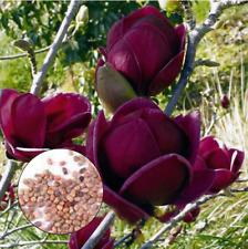 10Pcs Yulan Magnolia Flower-Tree Seeds Rare 2 Kinds Pereninal Garden Yaed