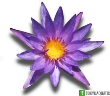 Nymphaea Islamorada Purple Tropical Water Lily Tuber Rhizome Live Aquatic Plant