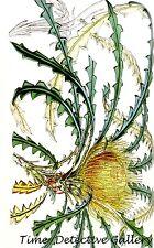 Botanical Illustration of the Kerosene Bush (Dryandra Nobilis)-Poster in 3 Sizes