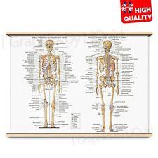 HUMAN ANATOMY BONES SKELETON Poster Print Education Science | A4 A3 A2 A1 |